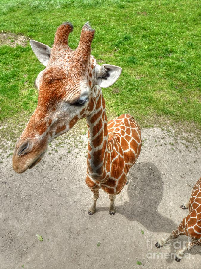 Giraffes Point Of View Photograph  - Giraffes Point Of View Fine Art Print