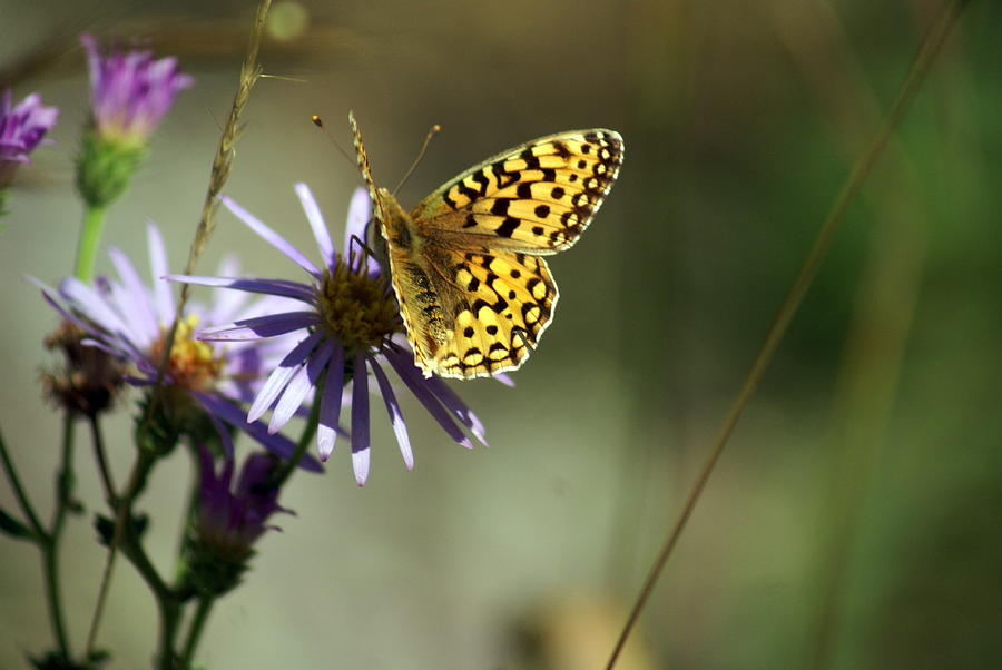 Glacier Butterfly Photograph