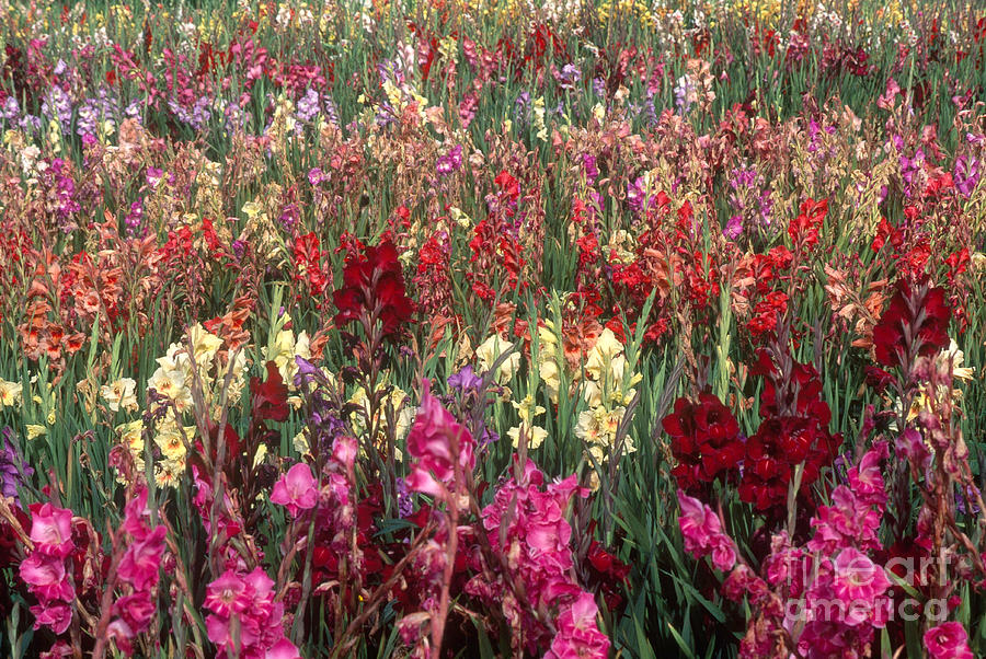 Gladioli Garden In Early Fall Photograph