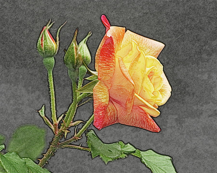 Glenns Rose 2 Photograph  - Glenns Rose 2 Fine Art Print