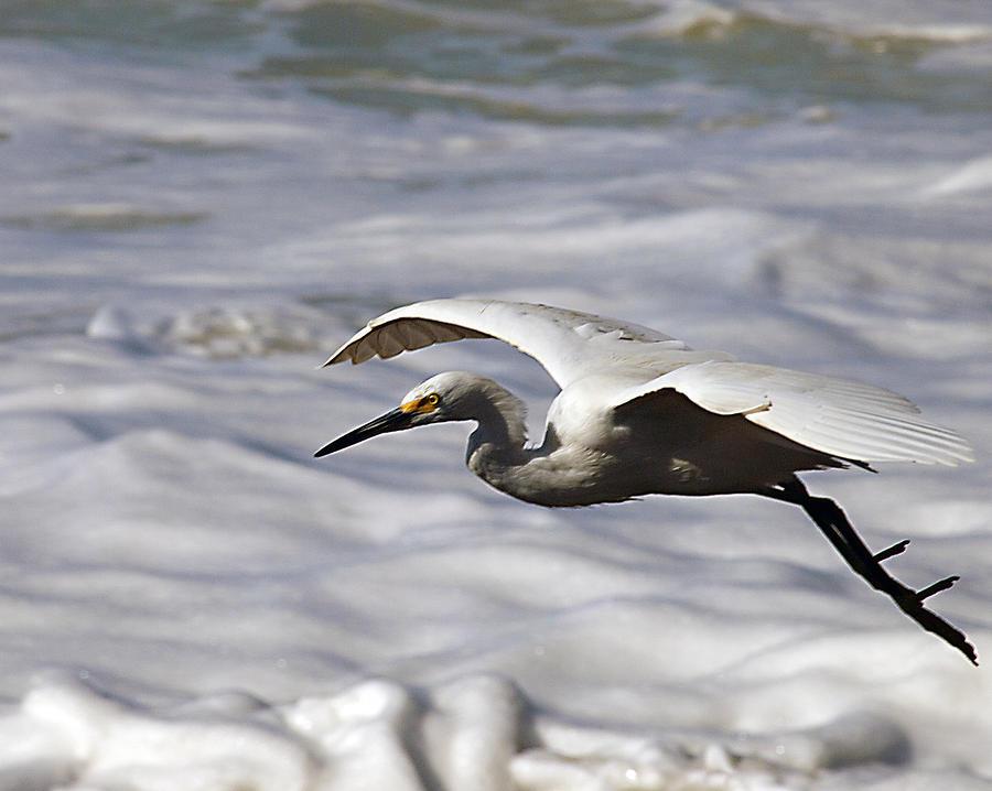 Egret Photograph - Gliding Egret by Joe Schofield
