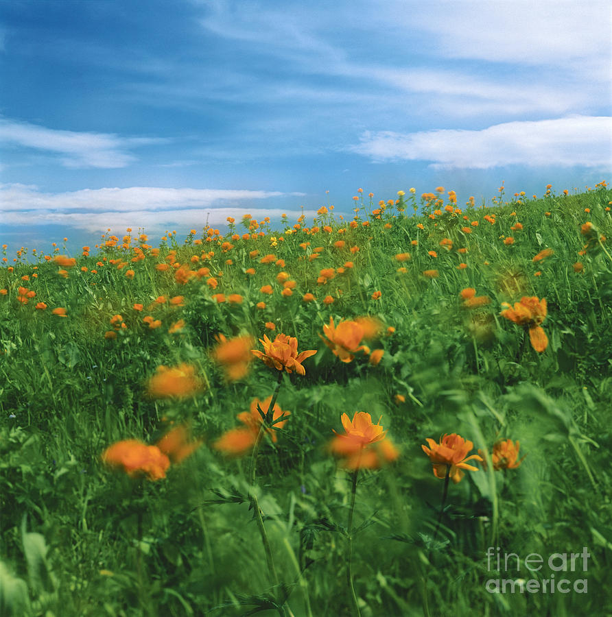 Globe Flowers And Wind  Photograph  - Globe Flowers And Wind  Fine Art Print