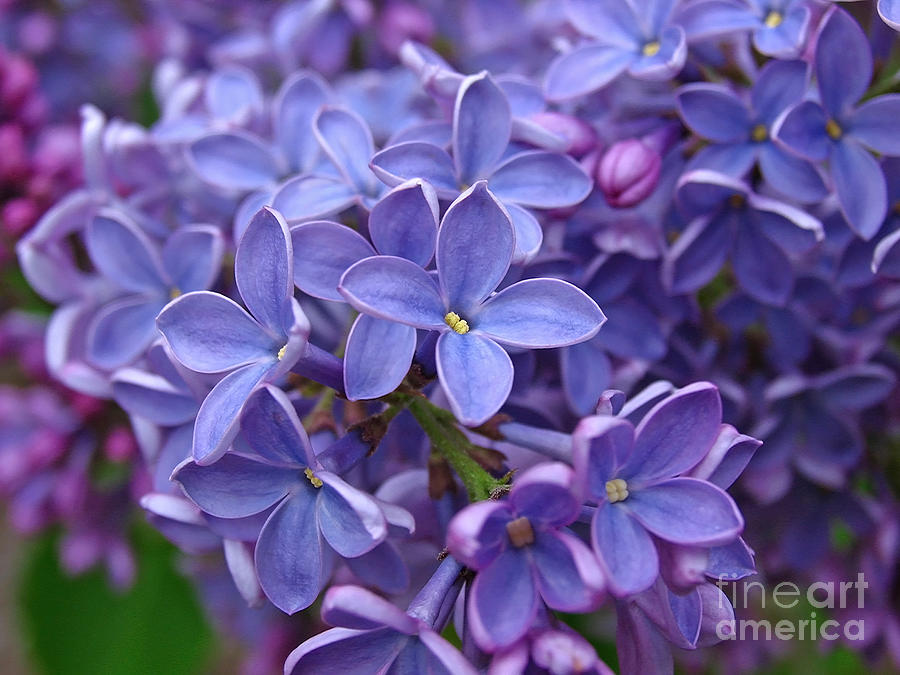 Glorious Lilac Bloom Photograph  - Glorious Lilac Bloom Fine Art Print