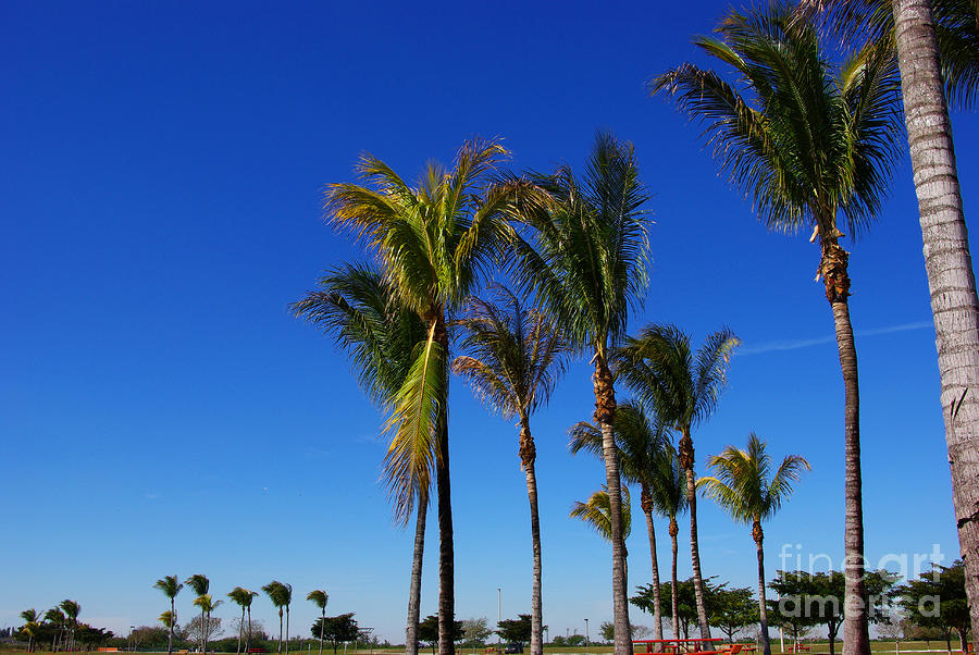 Glorious Palms Photograph