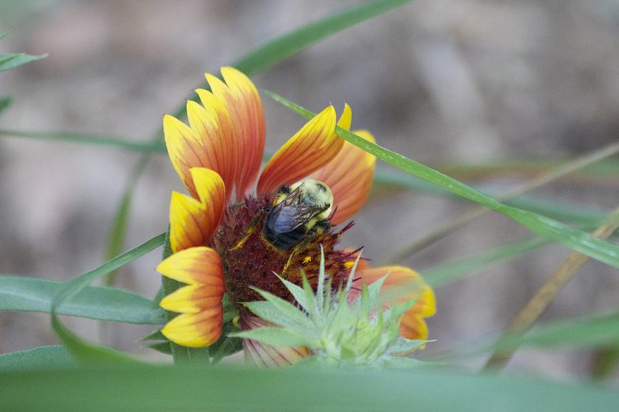 Glory Bumblebee Photograph