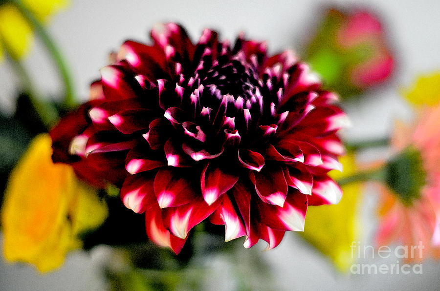 Glowing Dahlia Digital Art  - Glowing Dahlia Fine Art Print