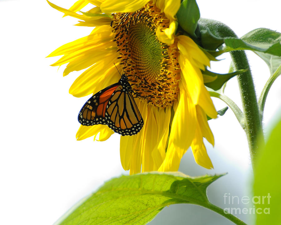 Glowing Monarch On Sunflower Photograph