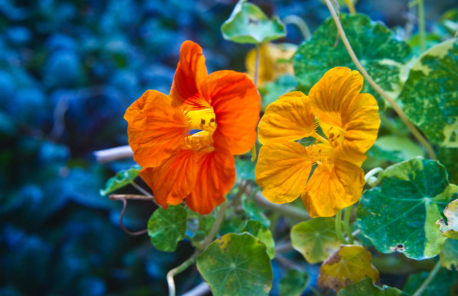 Glowing Nasturtiums 1 Photograph  - Glowing Nasturtiums 1 Fine Art Print