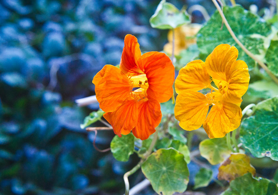 Glowing Nasturtiums 2 Photograph  - Glowing Nasturtiums 2 Fine Art Print