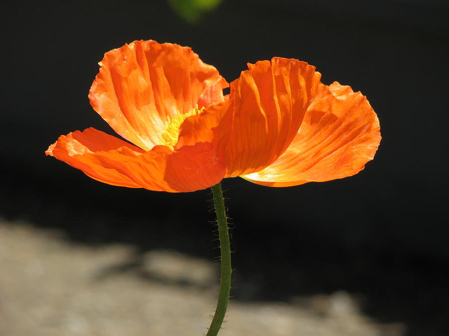 Glowing Poppy Photograph