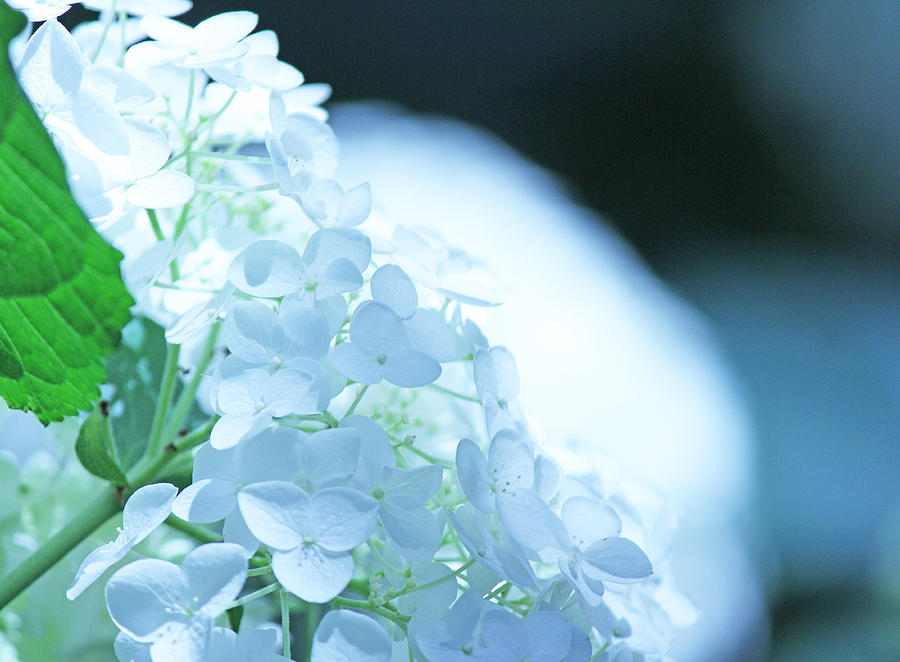 Glowing White Hydrangea Photograph