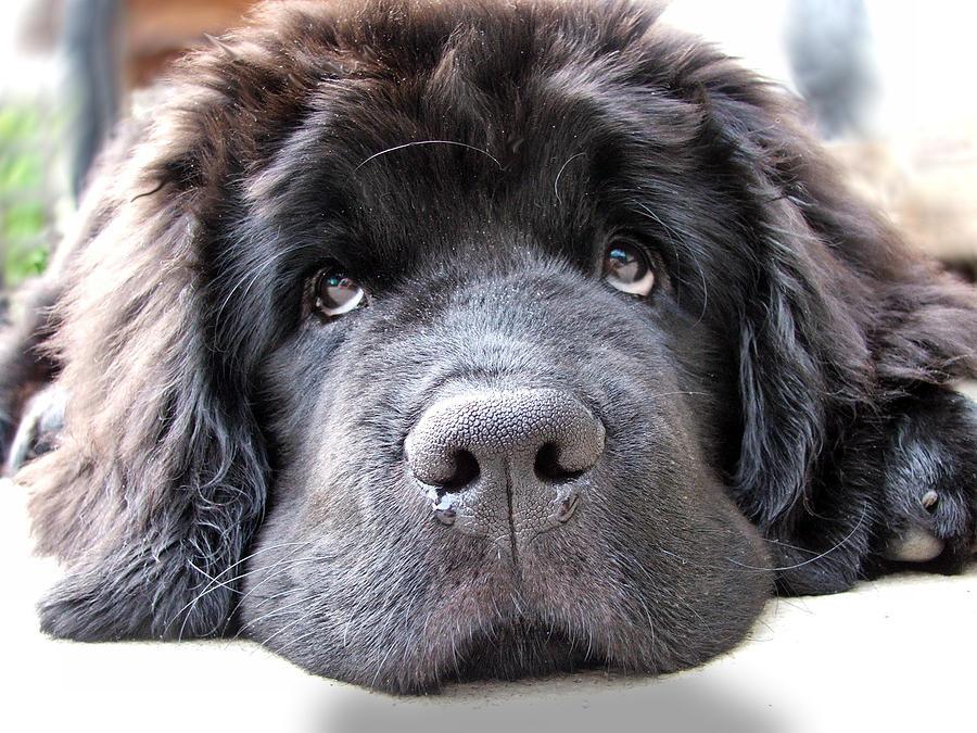 Newfoundland Dog.puppy .puppy Dog Eyes Photograph - Glum by Gary Yates