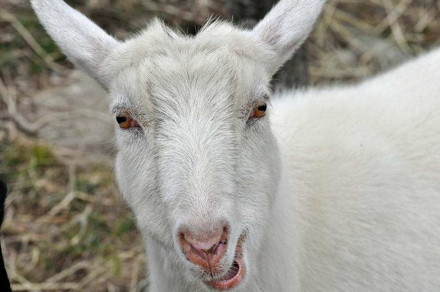 Goat Face Drawings Cake Ideas and Designs