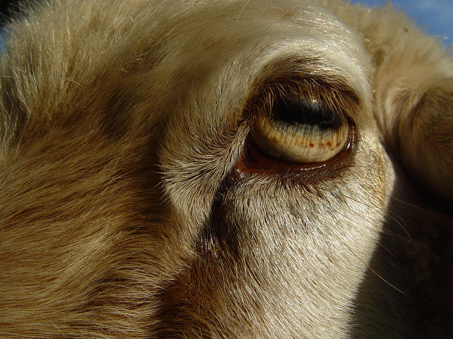 Goat's Eye by Rosemary Wessel: fineartamerica.com/featured/goats-eye-rosemary-wessel.html