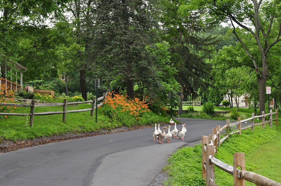 Duck Photograph - Going For A Walk by Crespo