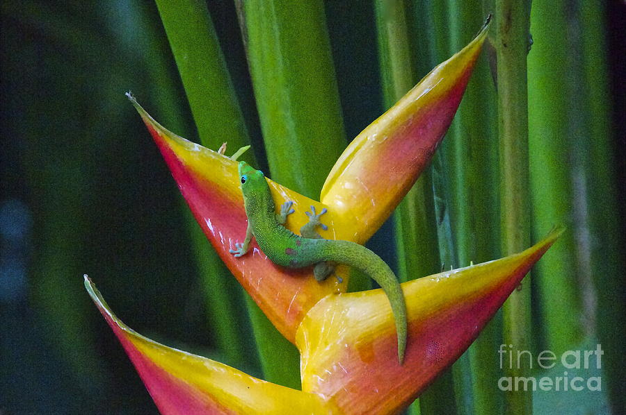 Gold Dust Day Gecko Photograph