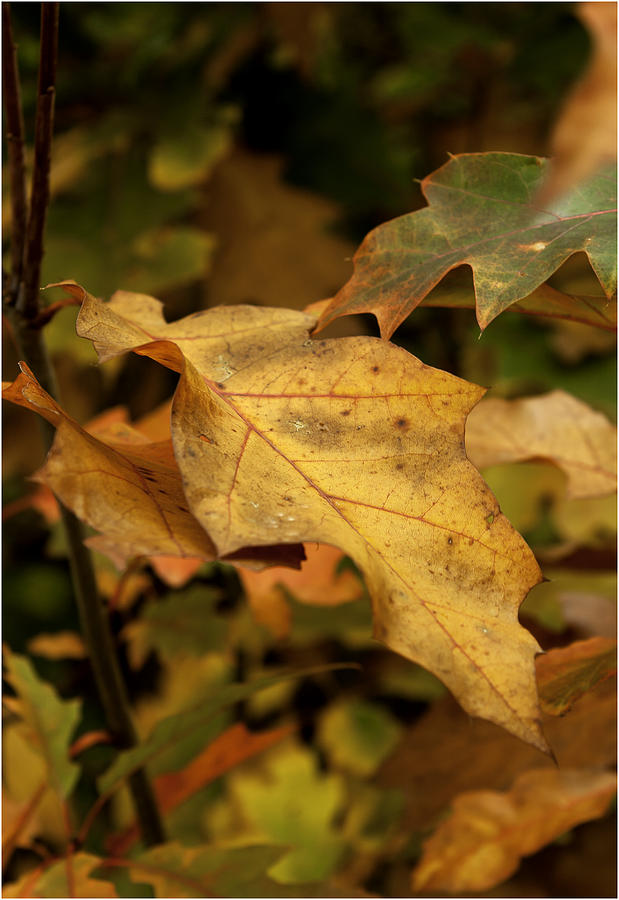 Autumn Photograph - Golden Brown by Nigel Jones