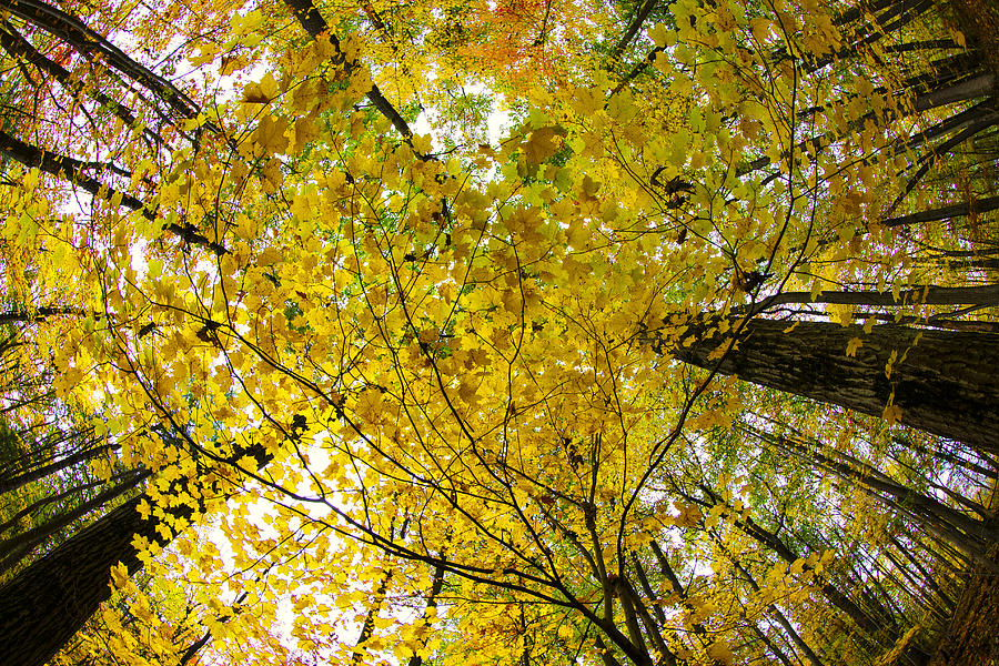 Golden Canopy Photograph  - Golden Canopy Fine Art Print