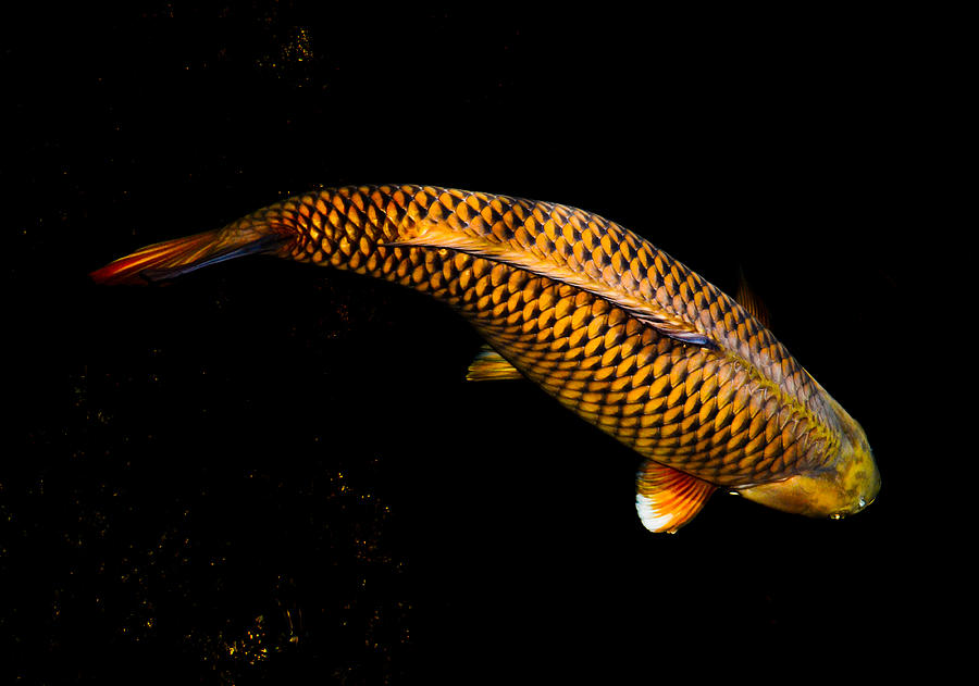 Golden chagoi photograph by chua chinleng for Chagoi koi for sale