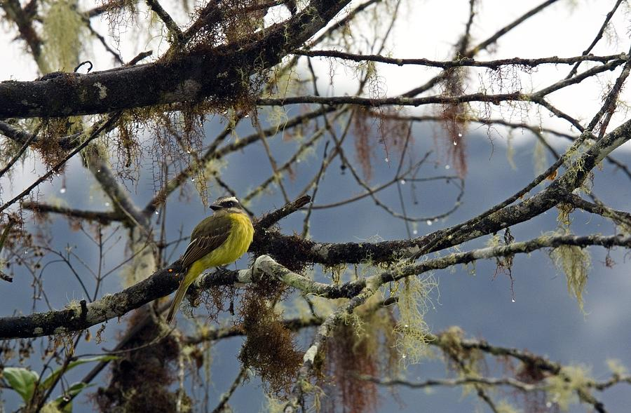 Golden-crowned Flycatcher Photograph  - Golden-crowned Flycatcher Fine Art Print