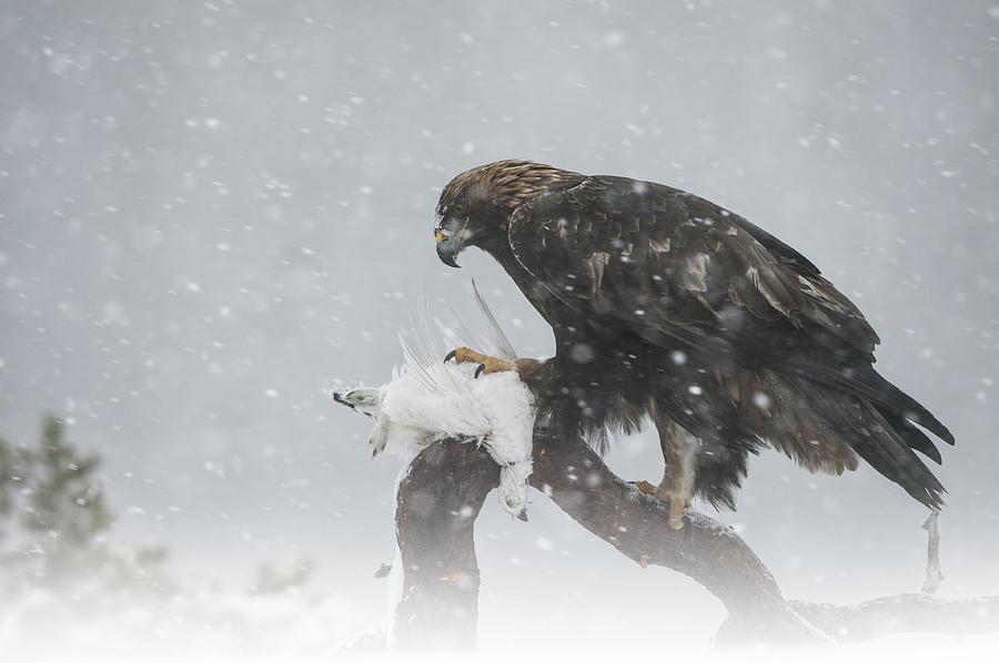 Bird Photograph - Golden Eagle by Andy Astbury