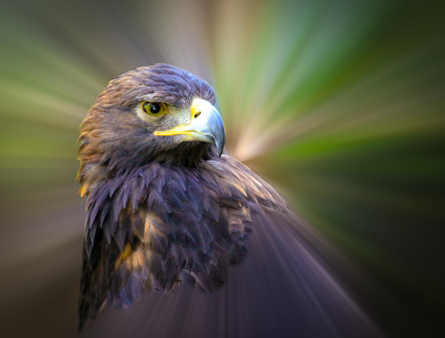 Golden Eagle Fade Photograph  - Golden Eagle Fade Fine Art Print