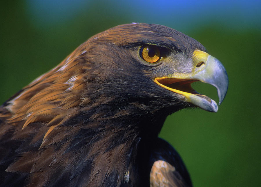Golden Eagle Photograph  - Golden Eagle Fine Art Print