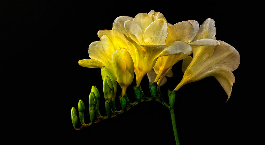 Golden Freesia Photograph  - Golden Freesia Fine Art Print