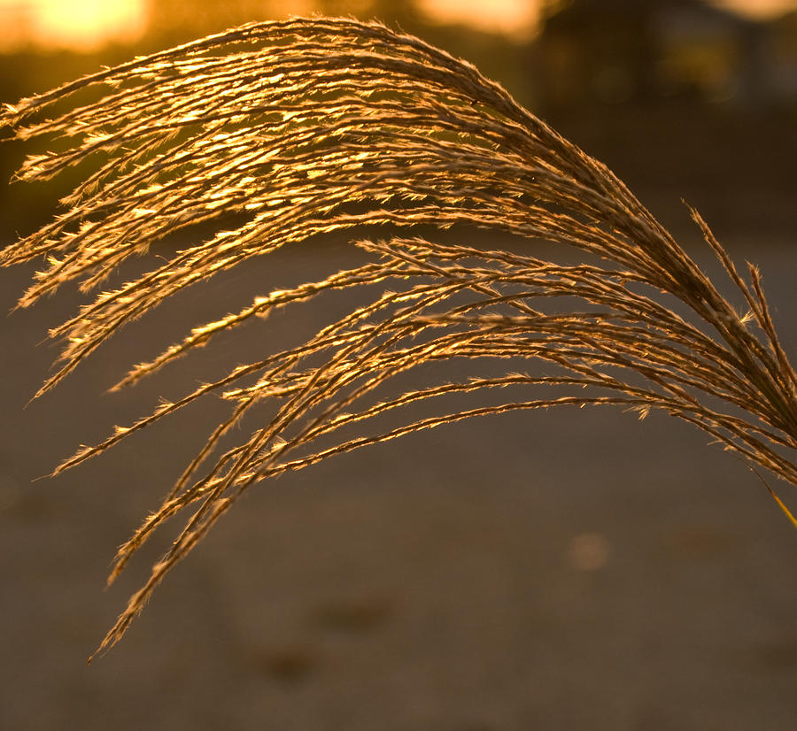 Golden Grass Photograph  - Golden Grass Fine Art Print