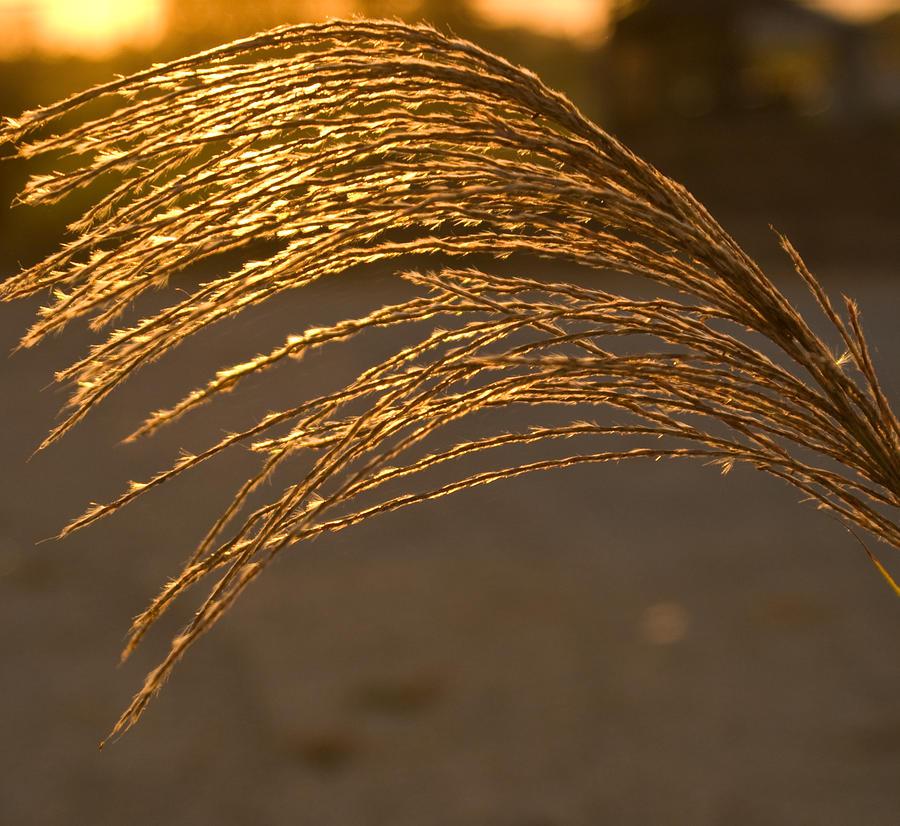 Golden Grass Photograph