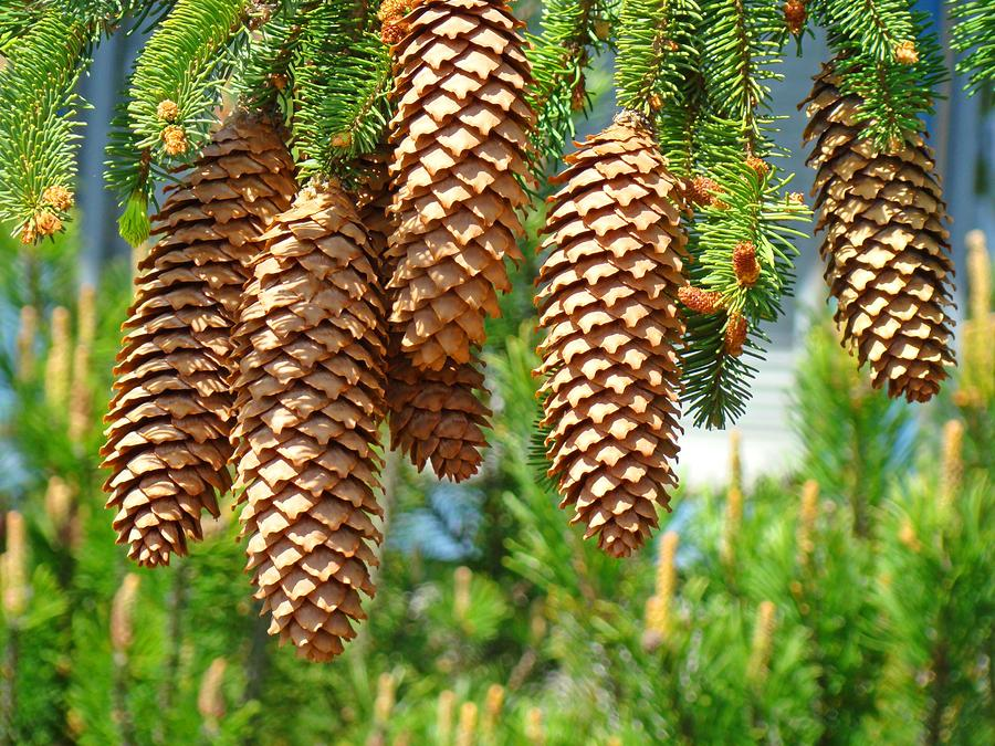 Golden pine cones art prints pine trees baslee troutman by for Large pine cones