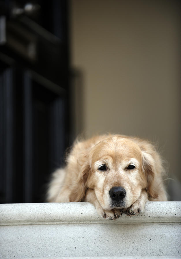 Golden Retriever Dog Lying In Front Door Of House, Looking Away (focus On Foreground) Photograph