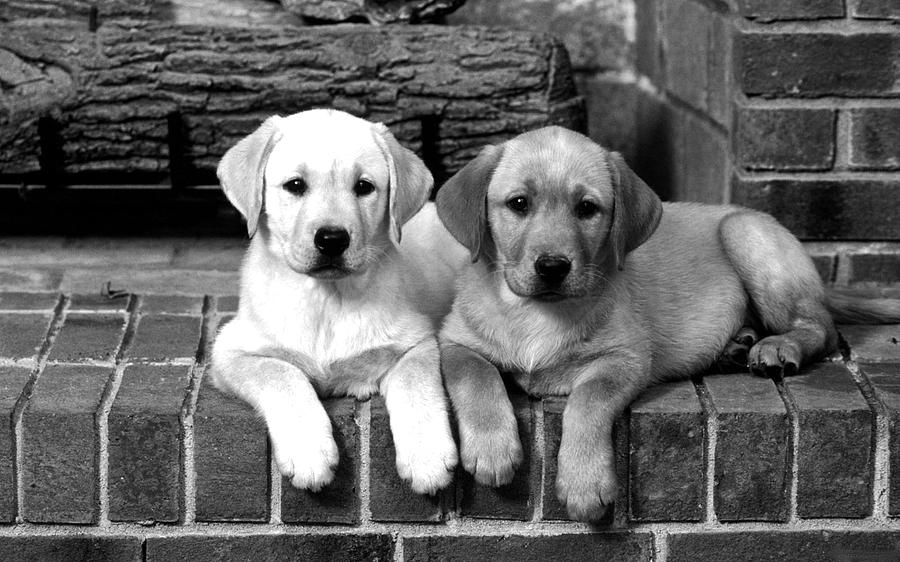 Golden Retriever Pups Photograph