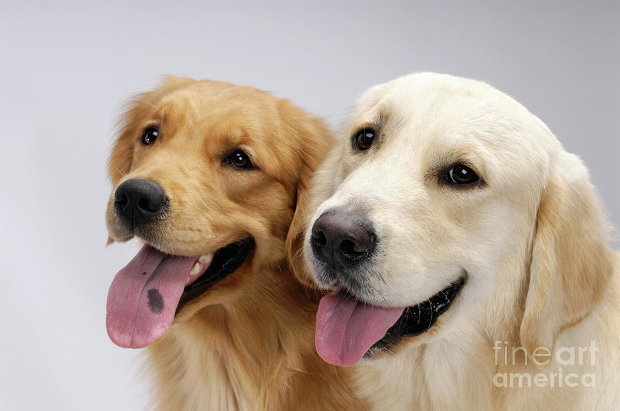 Golden Retrievers Photograph  - Golden Retrievers Fine Art Print