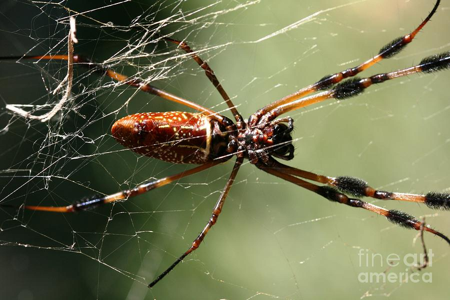 Golden Silk Orb Weaver Photograph  - Golden Silk Orb Weaver Fine Art Print