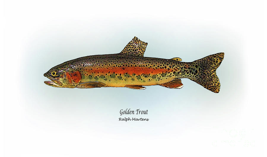 Golden Trout Painting  - Golden Trout Fine Art Print
