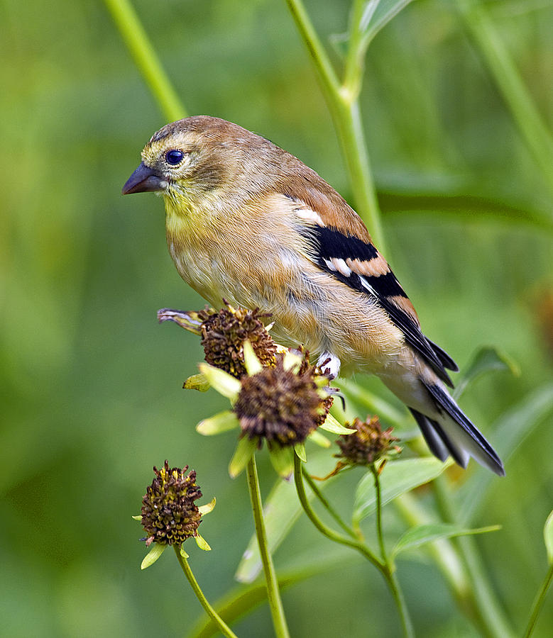 Goldfinch Juvenile Photograph  - Goldfinch Juvenile Fine Art Print