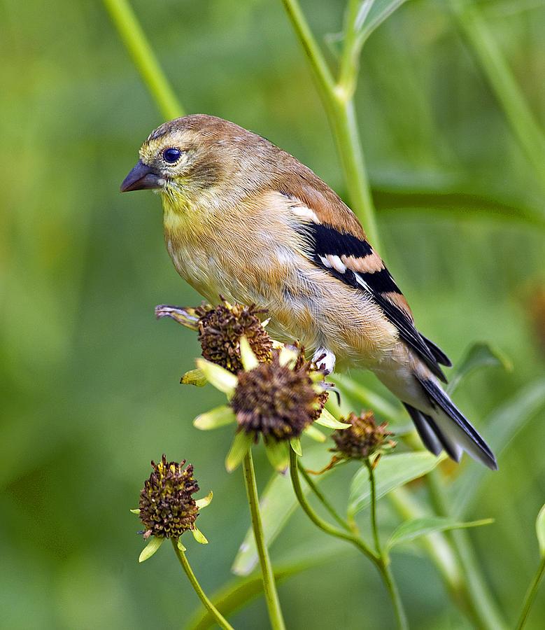 Goldfinch Photograph - Goldfinch Juvenile by Dick Jones