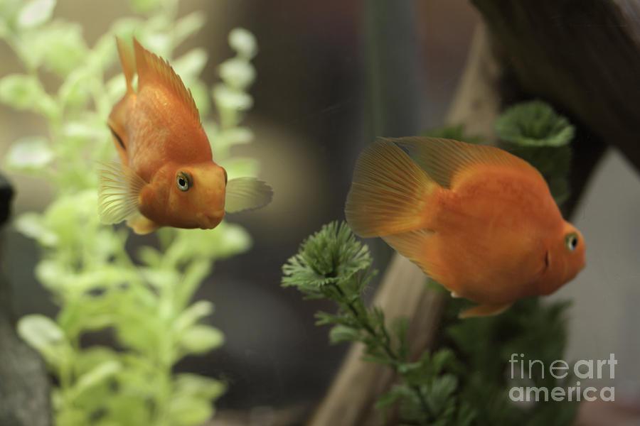 play goldfish