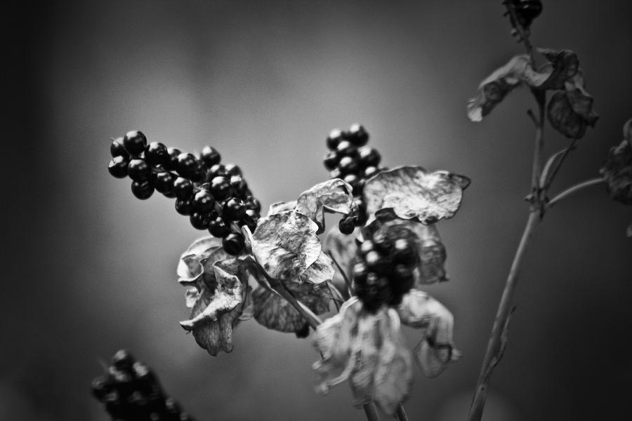 Gone To Seed Blackberry Lily Photograph