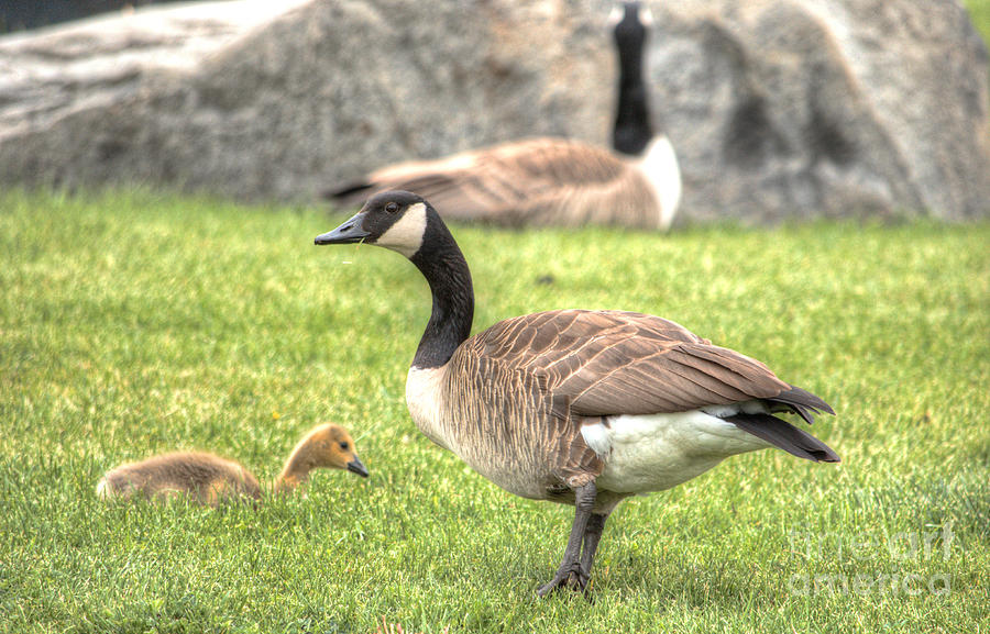 Goose And Gosling Afternoon Graze Photograph  - Goose And Gosling Afternoon Graze Fine Art Print