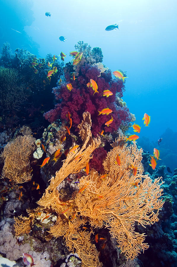 Gorgonian And Soft Coral Photograph