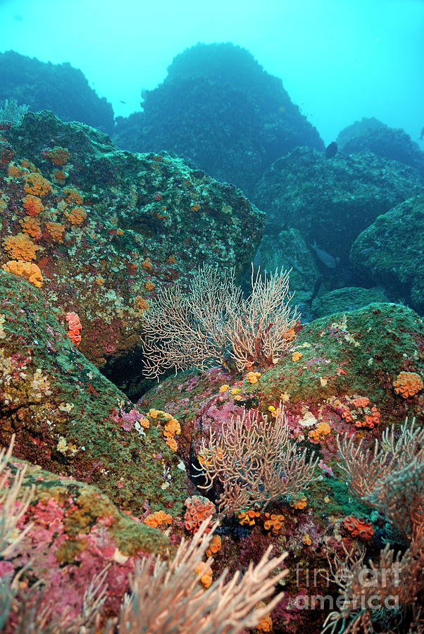Gorgonian Fans And Cup Coral On Rocky Seabed Photograph
