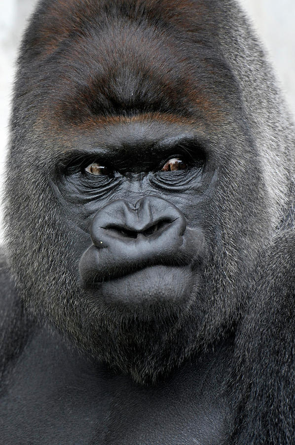 http://images.fineartamerica.com/images-medium-large/gorilla-gorilla-ronald-wittek.jpg