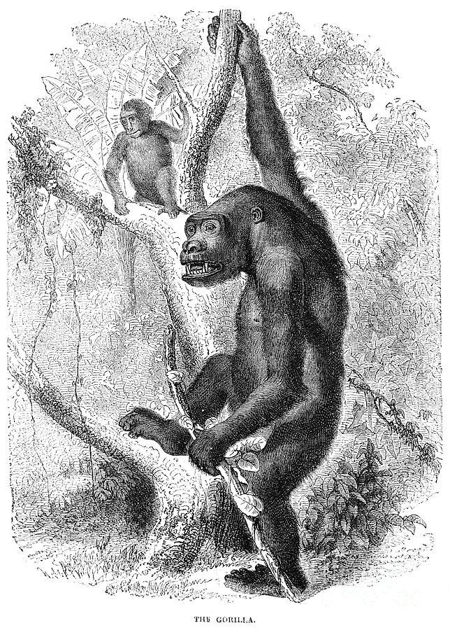 19th Century Photograph - Gorilla by Granger