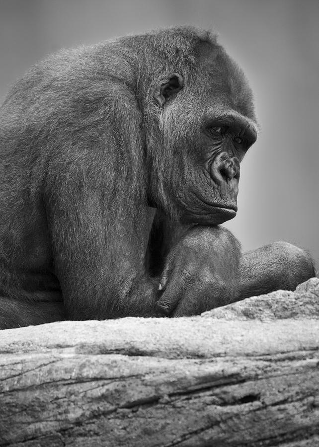 Outdoors Photograph - Gorilla Portrait by Darren Greenwood