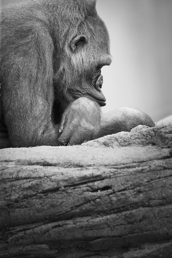 Gorilla Resting Photograph