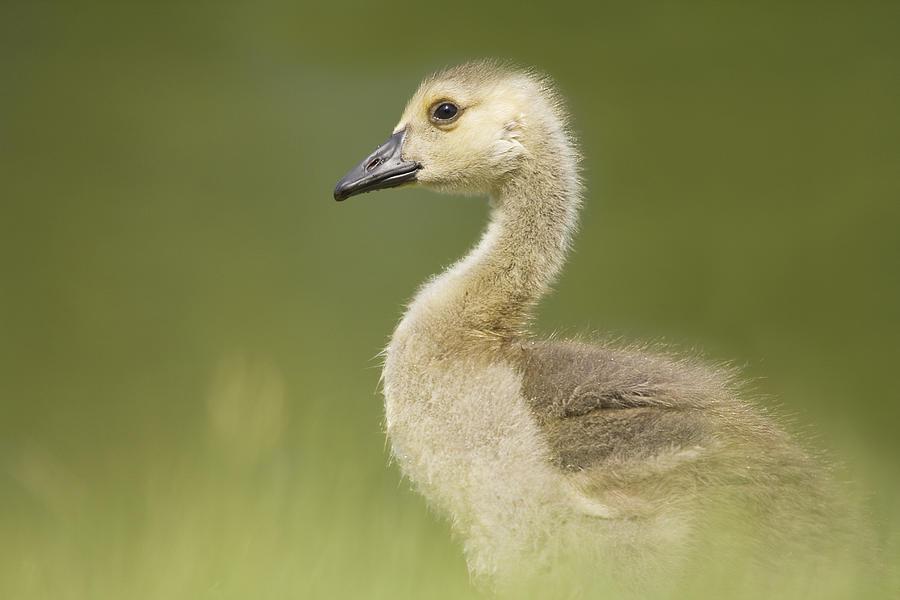 Horizontal Photograph - Gosling by Lisa Franceski Wildlife Photography