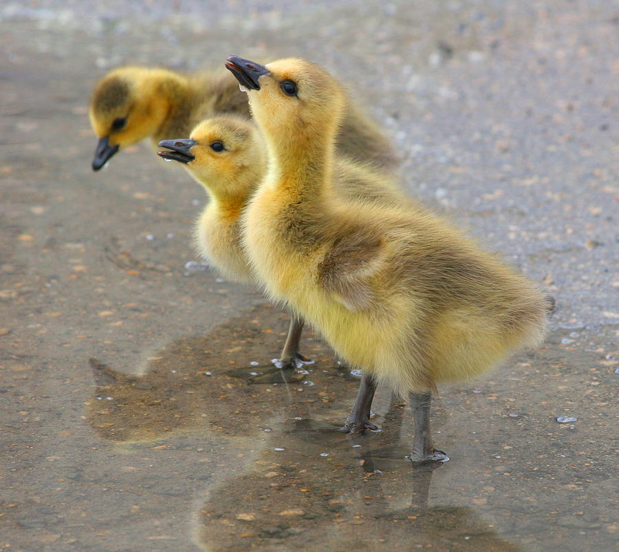 Goslings Photograph by Ron Boily