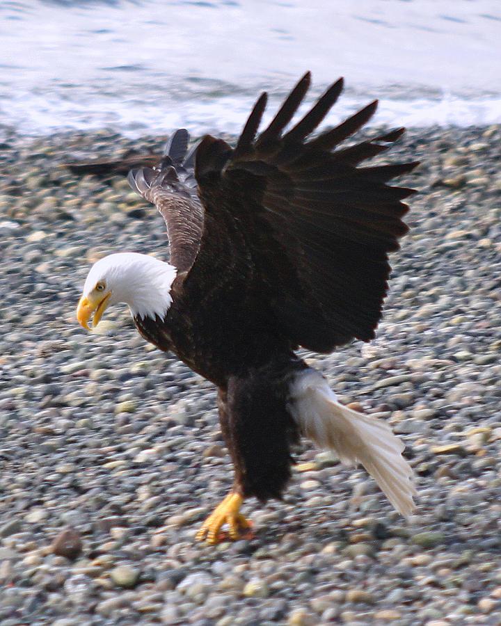 Bald Eagle On Beach Photograph - Got It by Kym Backland